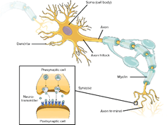Neuron's Network