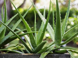 types of aloe plants: Know more about all types of aloe