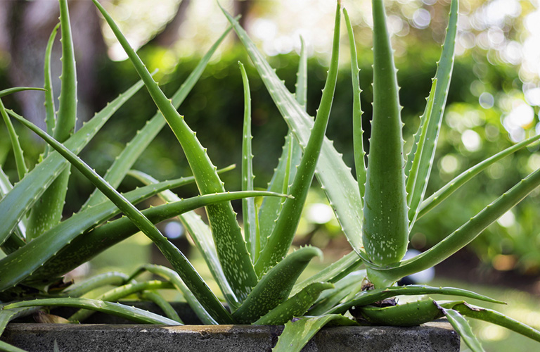 Aloe Vera Plant Types And Growing The Elixir Of Life Right At Your