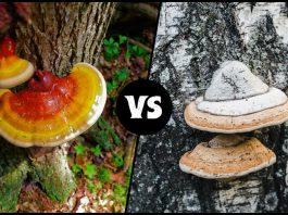 Reishi Vs Chaga Mushroom: Which mushroom is more beneficial?
