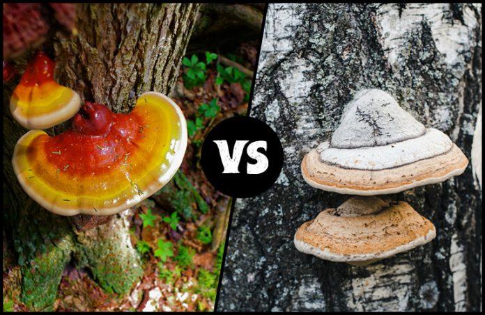 Reishi Vs Chaga Mushroom: The Myths and the Benefits