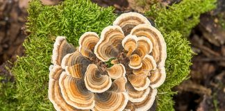 benefits of turkey tail mushroom: The Wonders of Turkey Tail Mushroom